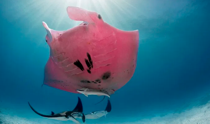They catch a pink stingray on the Great Barrier Reef in Australia