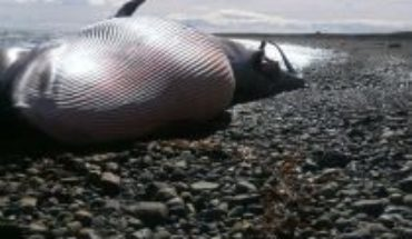 "Hallazgo de ballena con posible arpón en Magallanes:""Sería gravísimo confirmar que existe la caza furtiva de ballenas en Chile"""