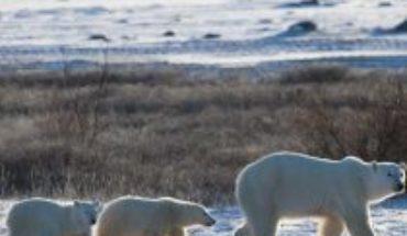Las peripecias del oso polar para sobrevivir al cambio climático