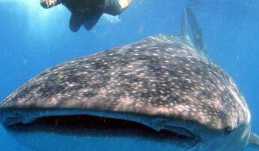 Tiburón ballena con cuerda enredada pide ayuda a pescadores (video)