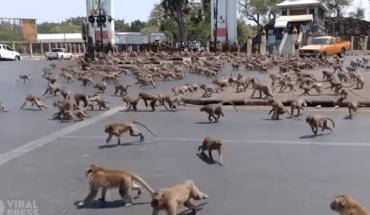 VIDEO VIRAL: Coronavirus provoca increíble pelea de monos en Tailandia