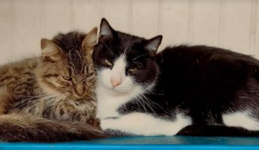 Estudio demuestra que los gatos también pueden infectarse de Covid-19