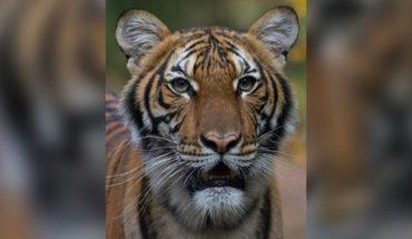 La tigresa Nadia, de Nueva York, tiene coronavirus