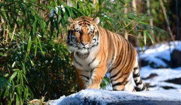 tiger covid zoo estados unidos2