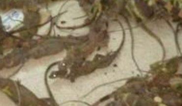 Rescatan 130 iguanas en peligro de extinción en Oaxaca