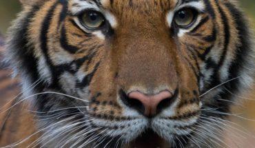 Tigre en el zoológico del Bronx da positivo a COVID-19