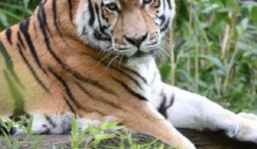 Bronx Zoo tiger test positive for coronavirus