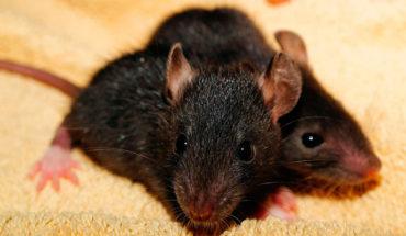 Científicos chinos descubren que las ratas están transmitiendo la hepatitis a los humanos con una nueva cepa