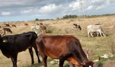 Comercialización de ganado mejora en el norte de Sinaloa