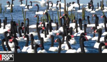 Contabilizan histórica cifra de cisnes de cuello negro en el Santuario de Valdivia