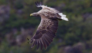 Luego de 240 años, el ave de presa más grande de Inglaterra vuelve a volar