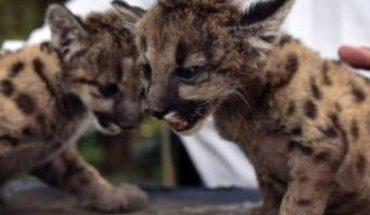 """""""Pandemia"""" y """"Cuarentena"""", los dos pumas nacidos en zoológico de Veracruz"""