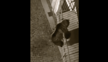 Video: A grizzly bear climbs the balcony of a building in Italy and panics