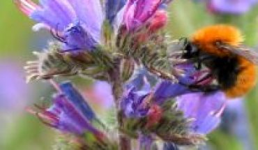 Vineyard studies the diversity of native bees in the Curicó Valley