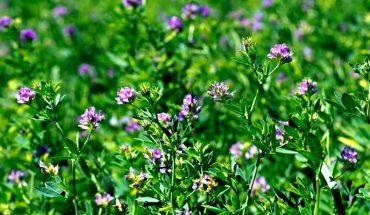Beneficios y propiedades de la alfalfa para la salud