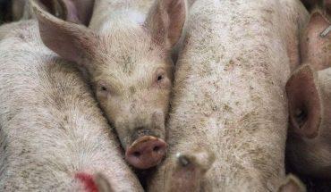 Convocan a un tuitazo masivo contra la instalación de granjas industriales de cerdo