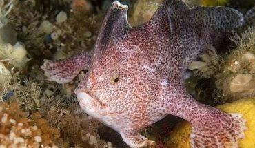 Declaran oficialmente extinto al pez de mano liso