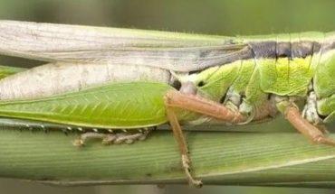 Detectan plaga de langosta en Veracruz; especie que ataca cultivos en centroamérica