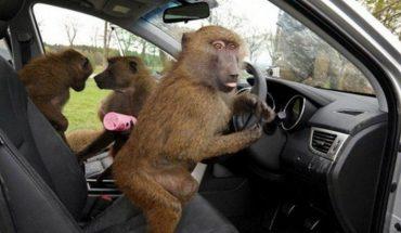 Un grupo de monos babuinos atemorizan a los ciudadanos del Reino Unido