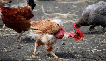 Una mujer cree que es una gallina: sufre un extraño síndrome llamado zoantropia
