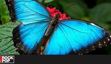 ¡La Gran Mariposa Azul reapareció luego de ser declarada extinta!