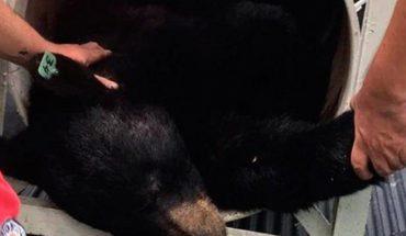 Capturan al oso de Chipinque en Nuevo León, es puesto bajo el cuidado de investigadores
