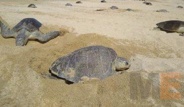 Detiene Policía Michoacán a un sujeto en posesión de 96 huevos de tortuga en Lázaro Cárdenas