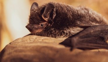 Nuevo coronavirus está presente en murciélagos desde hace 40 0 70 años