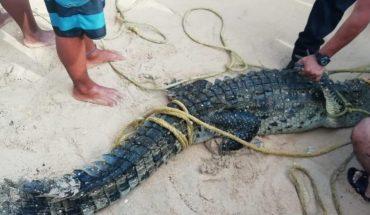 Capturan cocodrilo que acechaba en playa de Acapulco
