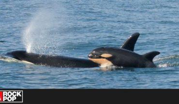 Orca que nadó junto a su cría muerta durante 17 días en 2018, fue nuevamente madre