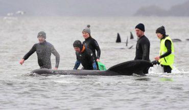 [VIDEO] Cerca de un tercio de las 270 ballenas varadas en Australia fallecieron y solo 25 han sido rescatadas