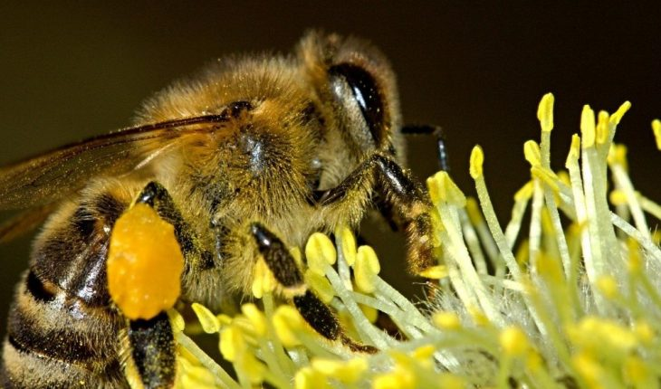 Older adult dies after being attacked by African bees in Villahermosa, Tabasco