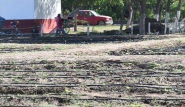 Ayuntamiento de Guasave inicia con tercer cultivo de girasoles