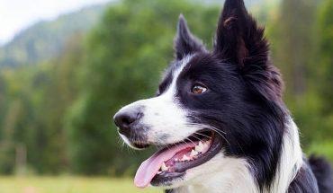 Estudio asegura que los perros también pasan por una crisis de la mediana edad