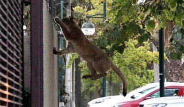 Guía oficial lo aconseja: si ve a un puma en su vecindario, grítele