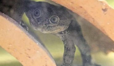About 200 Loa frogs were born at the National Zoo