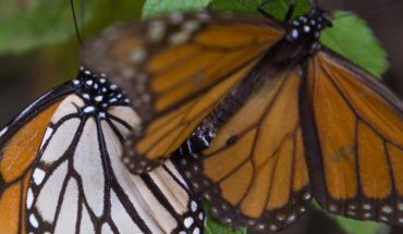 Monarch Butterfly Sanctuary could be closed by Covid-19