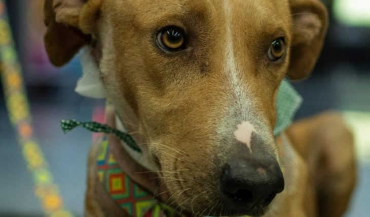 Romeo is adopted, dog assaulted with arrow in Culiacán