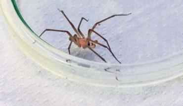 La población de arañas de rincón se duplicará o triplicará el próximo año