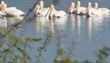Majestuoso espectáculo dan los pelícanos en la presa