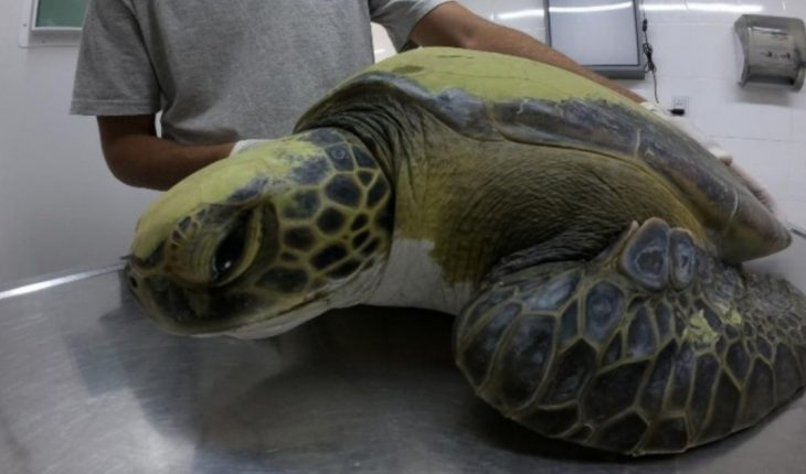 Regresan al mar con éxito una tortuga cabezona de 59 kilos que quedó enredada
