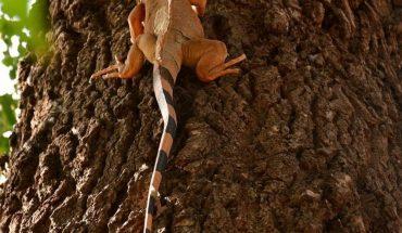Sin protección local ante la matanza de iguanas baquetas