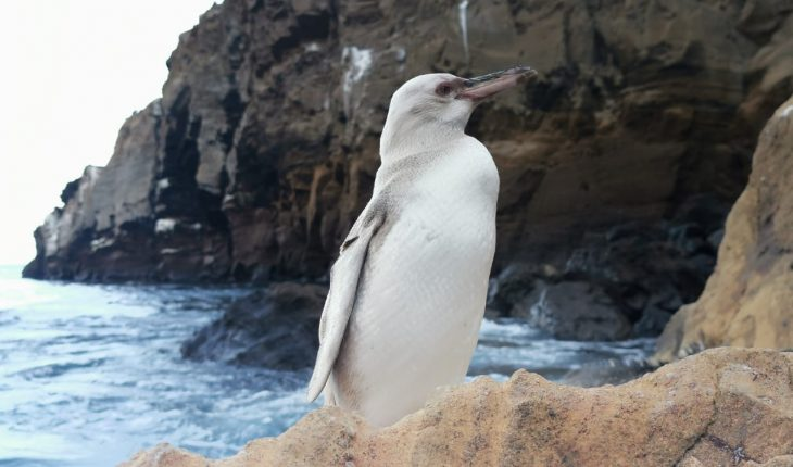 Surprising white penguin in the Galapagos Islands
