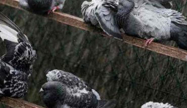 They find the message of a messenger pigeon from 100 years ago