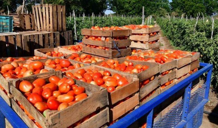 Productores preocupados por el inestable precio del tomate
