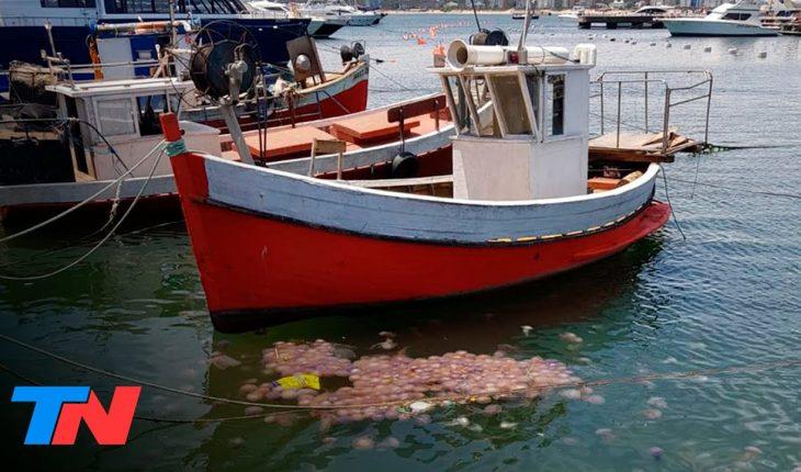 ¿Por qué las medusas invadieron Punta del Este? | FENÓMENOS