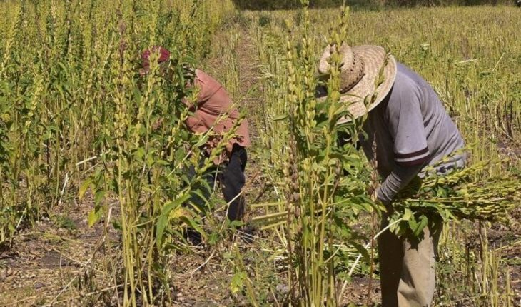 Producers see the picture sad in the sesame harvest