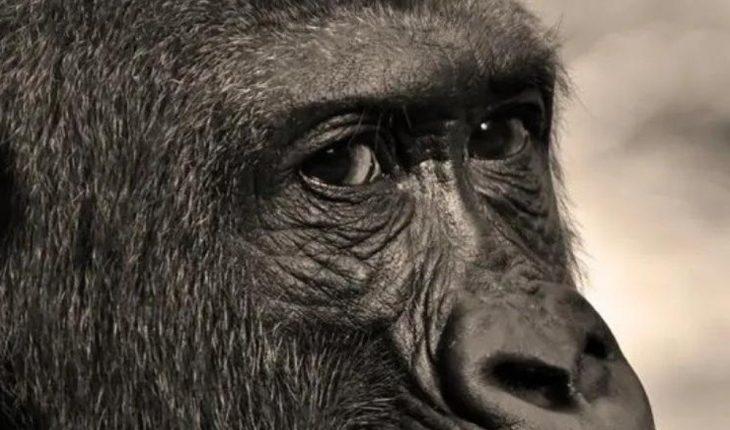 Gorilas dan positivo a covid-19 en zoológico en San Diego