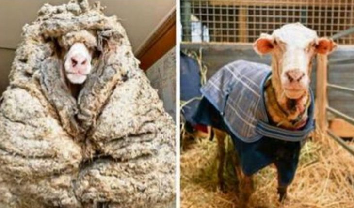 Sheep was lost for about 5 years: it had 35 kilos of wool