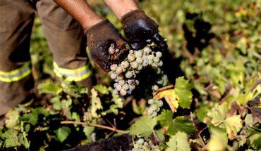 Lluvia de enero dañó hasta el 50% de uvas para el vino